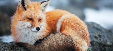 Imagem de raposa com nitidez 4K